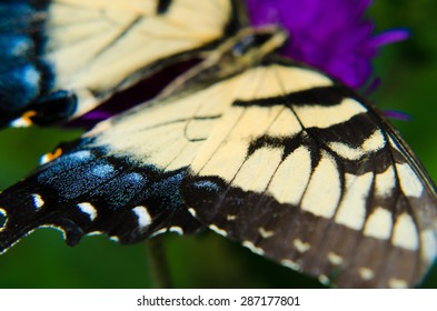 A yellow and black swallowtail butterfly resting on a purple Aster flower bloom.