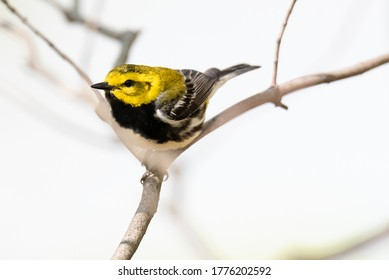 Yellow, black throated green warbler songbird, setophaga virens, with a black breast sitting in a tree with a bright background.