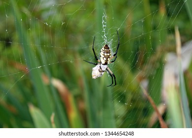yellow and black trampoline spider on its web with a silk sac and green plants in the background