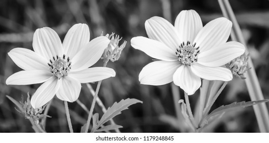 yellow black and white wild cosmos flowers nature photography