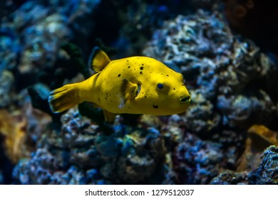 Yellow Blackspotted (or Dog Faced) Puffer fish (Arothron nigropunctatus) swimming in Aquarium tank