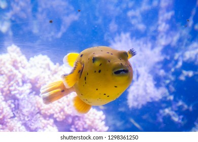 Yellow Blackspotted Puffer Or Dog-faced Puffer Fish - Arothron Nigropunctatus. Wonderful and beautiful underwater world with corals and tropical fish.