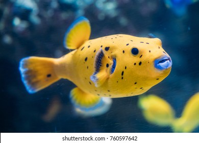 Yellow Blackspotted Puffer Or Dog-faced Puffer Fish Arothron Nigropunctatus Swimming In Water. If Not Prepared Properly, Toxin Found In Pufferfish - Tetrodotoxin Can Kill You In A Couple Of Hours.