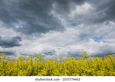 yellow blooming canola and grey storm clouds.thunderstorm is coming soon.