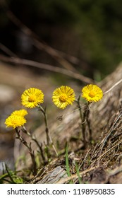 Yellow blooming coltsfoot flowers group