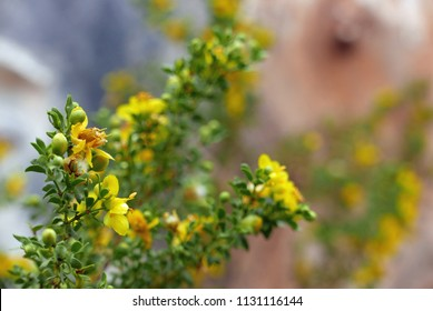Yellow blooming creosote bush in front of rusted background