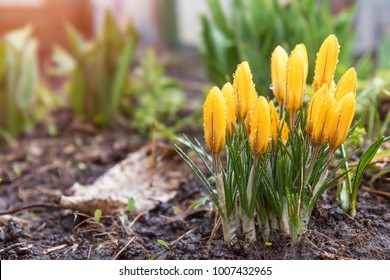 Yellow blooming crocuses with water drops. Low angle. Sunrise. Beautiful spring background with copy space.