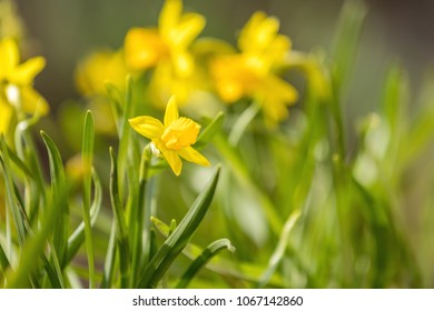 Yellow blooming daffodil. Sunny day. It rains in sunny day. Low angle. Sunshine. Sunrise. Shallow depth of field.