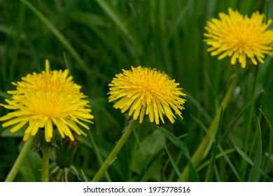 Yellow blooming dandelions in the grass.Photography, landscape. - Shutterstock ID 1975778516