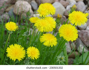 Yellow blooming dandelions on background of stones in early spring