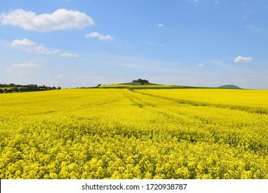 yellow blooming fields in Eifel landscape
