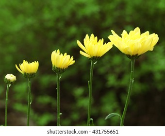 Yellow blooming flowers on green leaves background