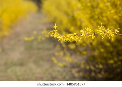 Yellow blooming Forsythia flowers in spring close up. Golden Bell, Border Forsythia Forsythia x intermedia, europaea beautiful shrub.