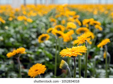 Yellow blooming Gerbera plants with hairy stems cultivated in a specialized cut flower nursery in the Netherlands.