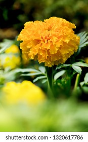 Yellow blooming marigolds in the garden