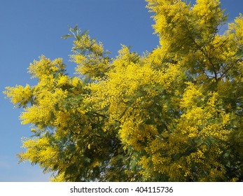 Yellow blooming mimosa branches on blue sky background