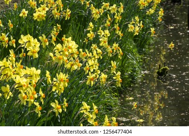 yellow blooming Narcissi