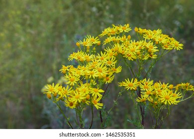 Yellow blooming Ragwort. Common names: Jacobaea vulgaris, Senecio jacobaea, Tansy Ragwort, Benweed, St. James-wort, Ragweed, Stinking Nanny, poisonous and medicinal plant in the family Asteraceae
