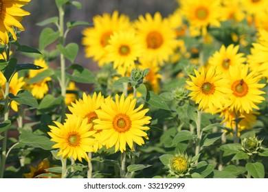 yellow blooming sunflower
