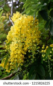 Yellow blooms of Cassia fistula, golden shower tree