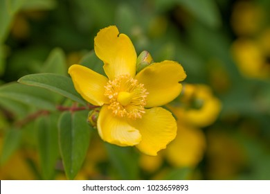 yellow blossom of amber flower