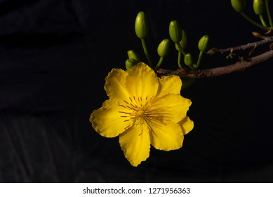 Yellow  blossom ( Yellow apricot flowers) on black background