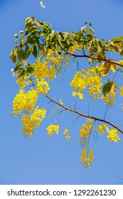 Yellow blossom of Cassia fistula (Yellow tree in Israel). Tree of yellow rain