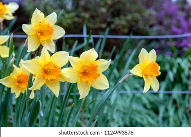 Yellow blossom flowers of Trumpet Daffodil or Narcissi with orange red corona cup in a garden during