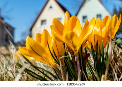 Yellow blossoms of crocuses (Colchicum autumnale) on a meadow in the sunshine in front of blurred houses.