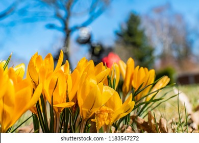 Yellow blossoms of crocuses (Colchicum autumnale) on a meadow with sunshine and blue sky. Unfocussed bicycle in the background of the photo.