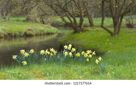 Yellow blossoms of a daffodil - narcissus on the bank of a brook in the park
