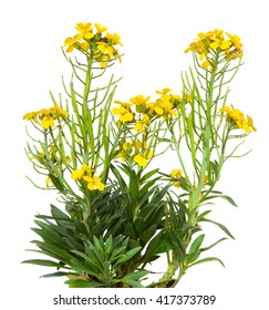 Yellow blossoms of the Erysimum Cheiry plant a common old garden plant, on white..
