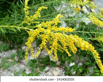 Yellow blossoms of Goldenrod flowers