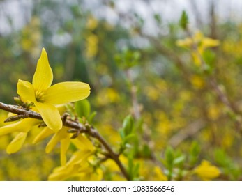 Yellow Blossoms in Spring
