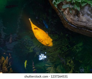 Yellow blowfish from above