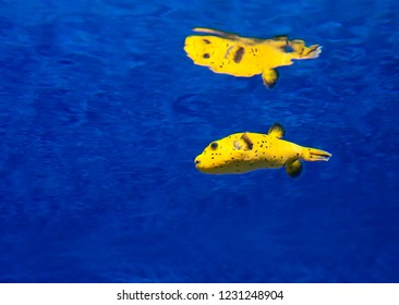 Yellow Blowfish (puffer fish). The body of the fish is yellow, covered with black dots. Under threat fish can swell up, becoming in two times more. Distributed in tropical and subtropical waters.
