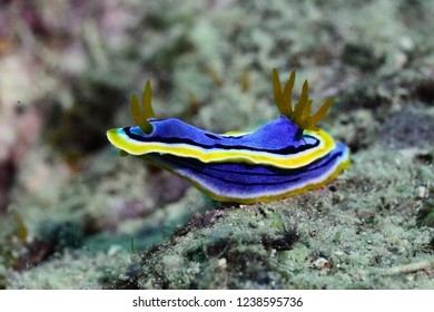 Yellow and blue sea nudibranch