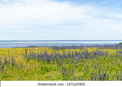 Yellow and blue summer flowers by the coast of the Baltic Sea at the island Oland in Sweden