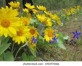 Yellow and blue wildflowers in dry field