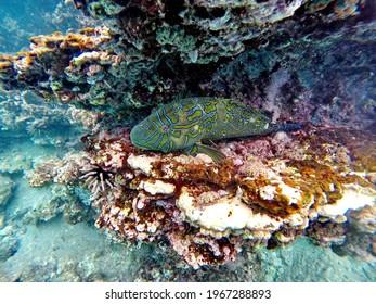 Yellow and blue wrasse in a rock crevice at Rabida Island, Galapagos, Ecuador