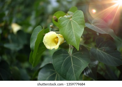 A yellow bodhi flower surround by bodhi leaves is blooming with the light of sun in the morning.