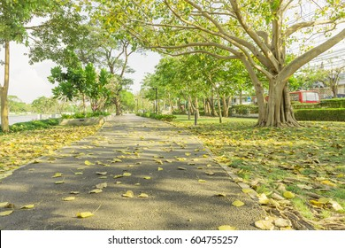 Yellow bothi leafs drop from trees to footpath in a park