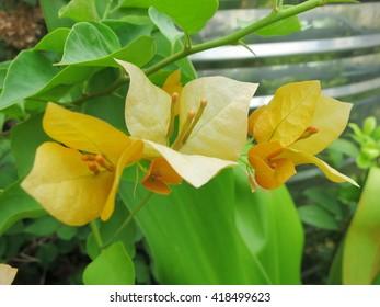 Yellow Bougainvillea flowers