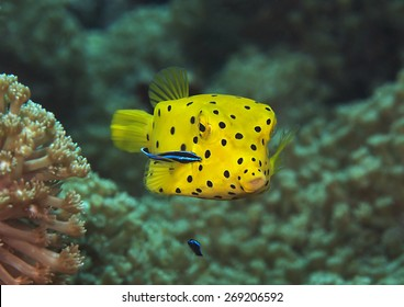 Yellow Boxfish ( Ostracion cubicus) being cleaned by cleaner fish ( labroides dimidiatus ) at cleaning station, Bali, Indonesia