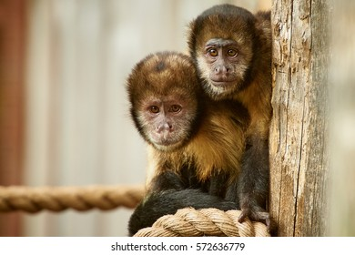yellow breasted capuchin monkey (cebus xanthosternos)