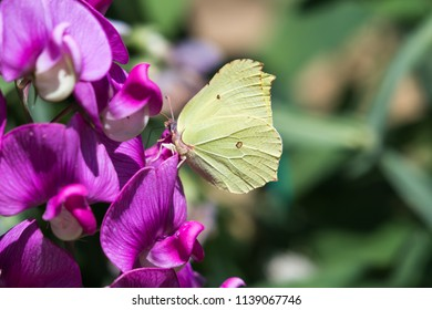 Yellow Brimstone butterfly feeding nectar from a Sweet Pea flower in a garden