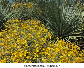 Yellow Brittle Bush flowers and the slender Sotol plant glisten in the early spring sunshine in Tonto National Park in Arizona.