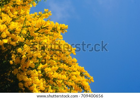 Yellow Broom Flower Lat Cytisus Against Stock Photo Edit Now