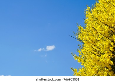 Yellow broom or Ginster in full bloom in Delphi Greece with blue sky and green leaves for use of greeting cards and backgrounds