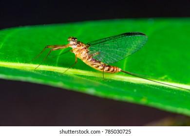 Yellow, brown adult flat-headed mayfly (Arthropoda: Ephemeroptera: Schistonota: Heptagenoidea: Heptageniidae: Heptagenia or Thalerosphyrus or Electrogena lateralis) clear wings descend on a green leaf